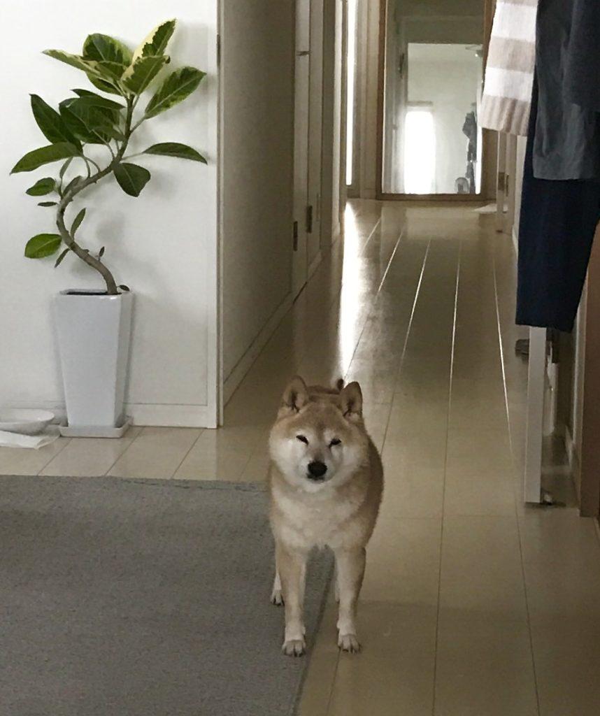 何か目線を感じると思ったら!?散歩行くのジ~っと待ってます。