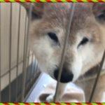 柴犬ラン15歳