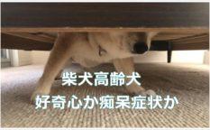 柴犬高齢犬|好奇心か痴呆症状か
