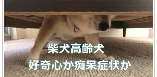 柴犬高齢犬 好奇心か痴呆症状か