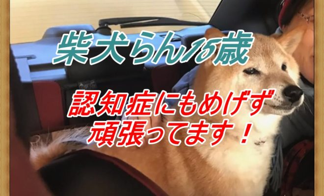 柴犬らん15歳「認知症にもめげず頑張ってます!」動画追加