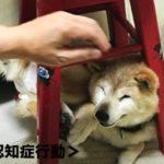 6歳のシニア柴犬らんメモリーズ「想定外行動」に目が離せない!