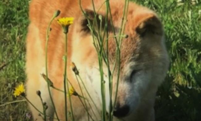 16歳のシニア柴犬らん認知症行動は「朝の散歩」からサインが