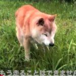 16歳のシニア柴犬らんメモリーズ|老化「もう走ることはできません」