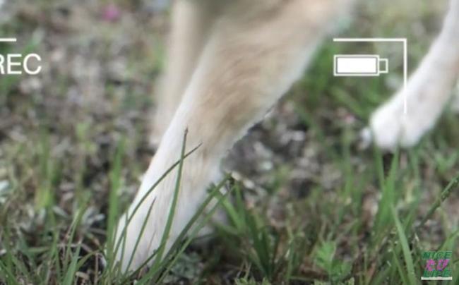 16歳のシニア柴犬らん「走れなくなった」サイン