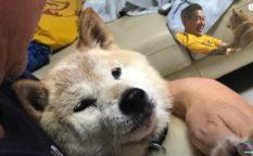 「16歳シニア柴犬らんメモリーズ」家でマッタリ散歩嫌いに!?