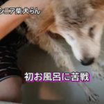 「16歳のシニア柴犬らん」初お風呂に苦戦(汗)ウンチ漏らす