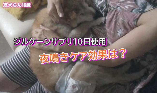 「シニア柴犬らん」ジルケーンサプリ10日使用~夜鳴きケア効果は?