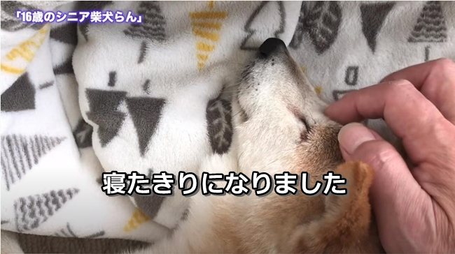 16歳のシニア柴犬らん|ついに寝たきりになりました