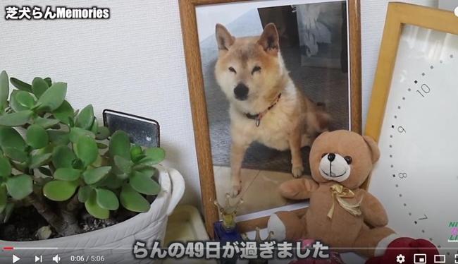 16歳のシニア柴犬らん49日|らんちゃんただいま