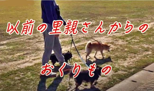 16歳のシニア柴犬らん旅立から半年|以前の里親さんからのおくりもの